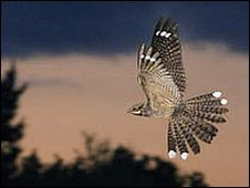 Nightjar in flight