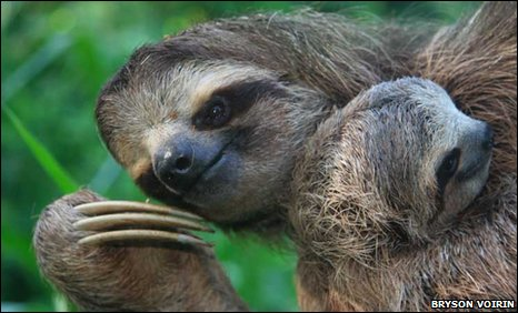 Brown throated three-toed sloth