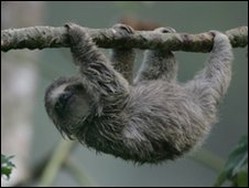 Tree climbing sloth