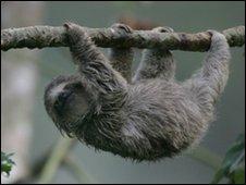 Tree climbing sloth