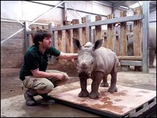 Ailsa, white rhino calf