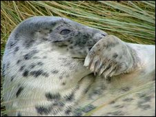 Rescued grey seal pup