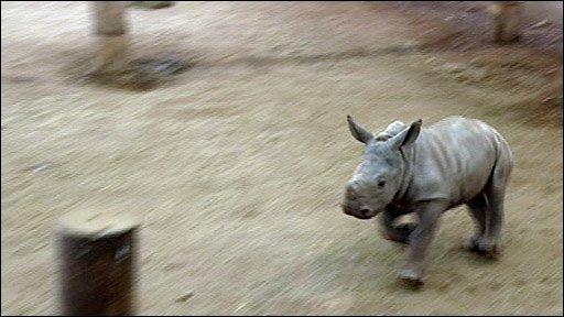 Ailsa the white rhino