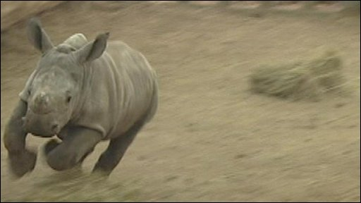 White rhino at Stirling safari park