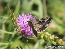 Migrant moth