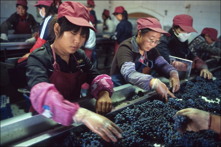 Workers select the grapes at the Grace Vineyards Winery in Shanxi province. Photo: Ryan Pyle