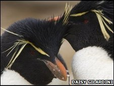 Crested penguins copyright Daisy Gilardini