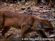 Bornean bay cat (Photo courtesy of A Wilting and A Mohamd)