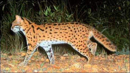 Leopard cat (photo courtesy of A Wilting and A Mohamed)