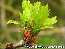 Oak leaves (Pete Holmes/Woodland Trust)