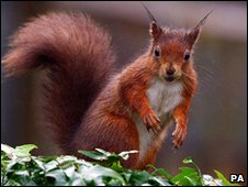 A red squirrel (PA)