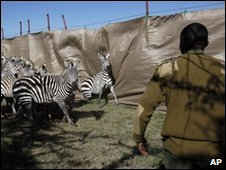Kenya wildlife ranger in zebra enclosure