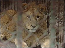 Lion in Oradea Zoo