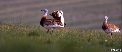 Two great bustards on a mating ground in Northern Spain