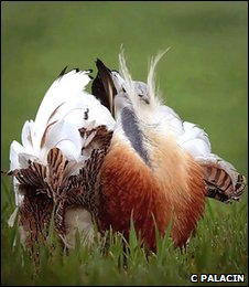Male great bustard (Carlos Palacin)