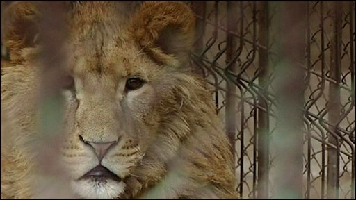 One of the rescued lions