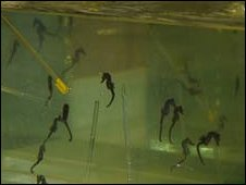 Sea Horses (Picture: Aled Jones, Galwad Cynnar BBC Radio Cymru)