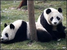 Pandas in Shanghai, China (file image)