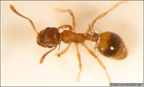 Ant of the species Temnothorax unifasciatus