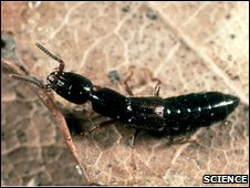 Rove Beetle (Science Photo Library)
