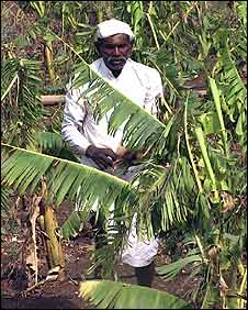 Eknath Tabaji Sangulpaye and his banana plants