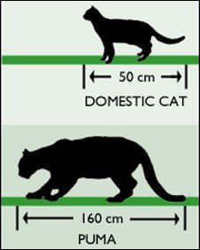 Puma and cat comparison