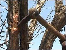 Farmers cut into acacia trees, leaving a wound which seeps gum arabic