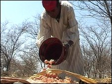 A farmer lays out gum arabic in the sun to dry