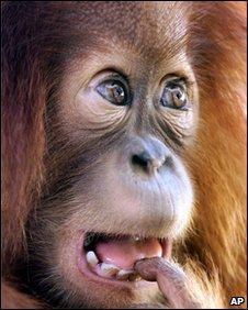 Baby Borneon orangutan