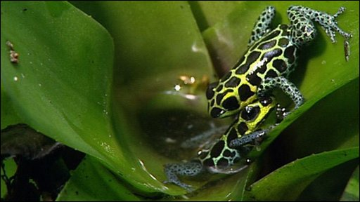 Mimic poison frog (Ranitomeya imitator)