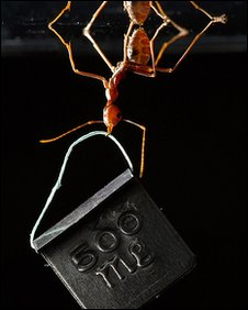 The photograph of the Asian weaver ant carrying a 500mg weight