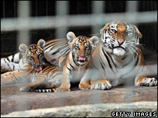 Bengal tigers found in a garden in Jakarta (9 February 2010)