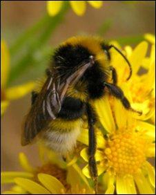 Southern Cuckoo bumblebee