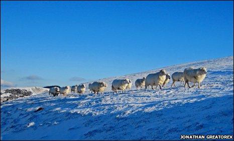 The snowfall didn't affect the sheep at Maengwynedd, Llanrhaeadr-ym-Mochnant, Powys