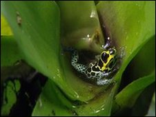 Male mimic poison frog guards pool
