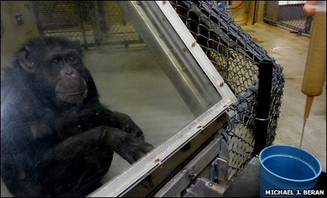 Panzee the chimpanzee undertakes a liquid test