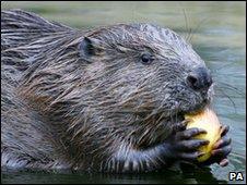 Generic pic of beaver