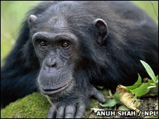 Chimpanzee (picture copyright: Anuh Shah / NPL)