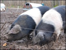 Old brown spot pigs