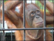 Orang-utan in a cage