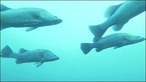 Akame Fish