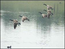 Geese on Fendrod lake, pictured in 2007 (Photo: Enid Gwillim)