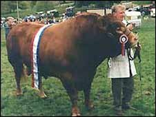 Jersey prize bull