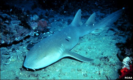 A nurse shark may be similar in shape, but not size to the prehistoric fossil
