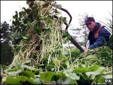 Clearing pennywort