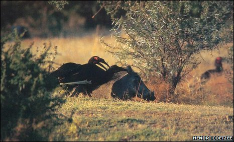 Ground hornbill grooms a warthog