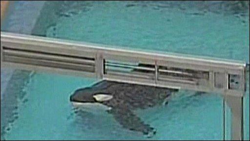Killer whale in tank