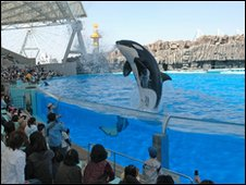 A killer whale jumps in its tank at the Port of Nagoya Public Aquarium, Nagoya, Japan