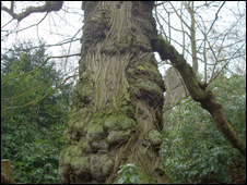 A sweet chestnut in the gardens at Pell Wall