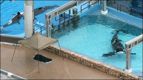 Killer whales swim in tanks at SeaWorld Orlando, shortly after Dawn Brancheau's death, 24 February